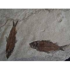 Fossil Fish Group - Knightia
