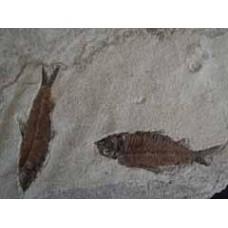 Fossil Fish Group - Knightia
