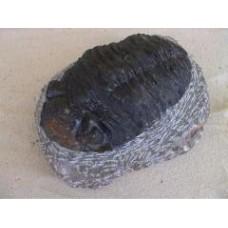 Giant Trilobite - Phacops africanus