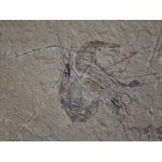 Carpopenaeus Shrimp Fossil - Lebanon